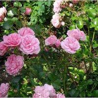 Розы :: Вера