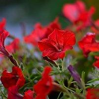 Цветик :: Александр Кудров