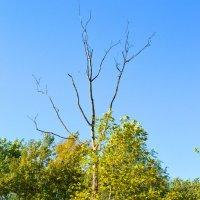 Мертво-живое дерево :: Наталья Ковалева