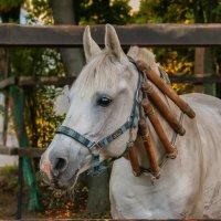 Норовистый наверное конь... :: Вера Лучникова