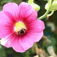 Пчелкааааа :: Nadezhda Ulitina