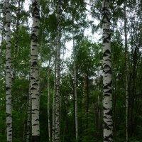 Лес в июле :: Ольга