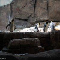 Пингвины :: Екатерина Макарова  Фотографиня