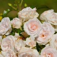 розовые розы Светке Соколовой...) :: linnud