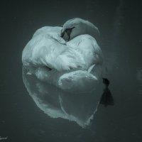 лебедь :: Sergey Bagach