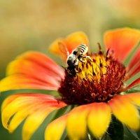 пчелка :: Елена Мухачева
