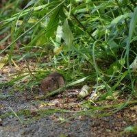 Мышка полевая :: Natalia Harries