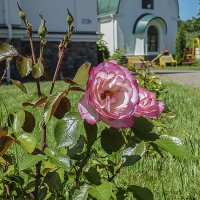 Роза :: Валерий Изотов
