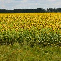 Солнечное поле. :: Любовь Зима