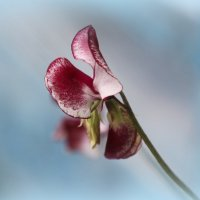 Цветик :: Валентина
