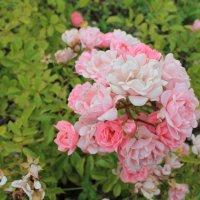 Розы :: Валентина Val
