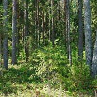 Солнечный лес. :: Юрий Шувалов