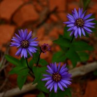 Северные цветы.Астра сибирская. :: Galina S*