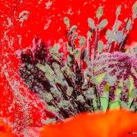 Маковая пыльца :: Виктор Гузеев