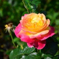 Супер Роза. :: Oleg4618 Шутченко
