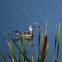 чайка на озере :: Сергей Цветков