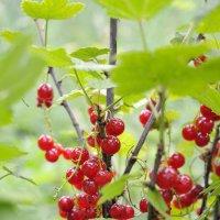 Смородина, красная и не потому что зеленая :: Валерий Андреев