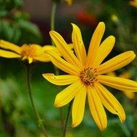 Цветок тапинамбура. :: Александр Атаулин
