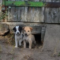 Два собака :: Ирина Шакирова