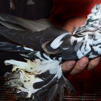 Узбекский голубь 2 :: Евгений Стрелков