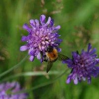 Пчелка :: Andrad59 -----