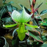 Орхидея :: Александр Марусов