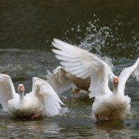 Гуси-лебеди :: Светлана Медведева
