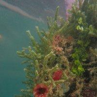цветы под водой :: Константин Нестеров