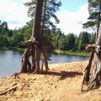 Как ходят деревья...:) :: Жанна Викторовна
