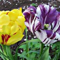 из серии тюльпаны :: Надежда