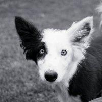 собака-убийца :: Alexandr G