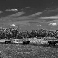 Организованной толпой коровы шли.... :: Наталья Дороднова