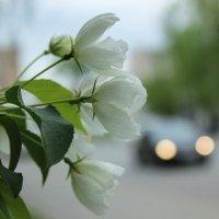 Яблоневый цвет :: Татьяна Грищук