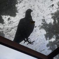 Голубь -- птица всепогодная.. :: Людмила Синицына
