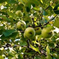 Дикая яблоня. :: Елена