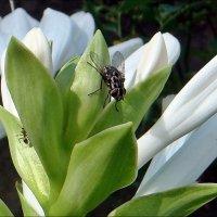 Муха и муравей :: Нина Корешкова
