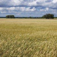Пшеничное поле :: Виктор Четошников