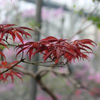 красные листы :: Александра Сапоровская-Костюшко