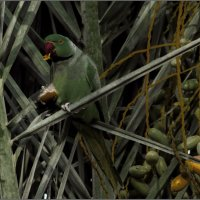 Попугай Крамера (Драра)-из серии«Наши пернатые друзья!» :: Shmual Hava Retro