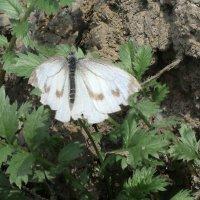Бабочка :: Лидия Цейер