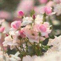 Розы :: Ира Балкина