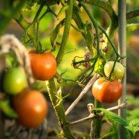 Домашние томаты :: Андрей Куприянов