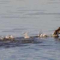 Молодые утки учатся летать (1) :: Елена Перевозникова