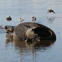 Молодые утки учатся летать (2) :: Елена Перевозникова