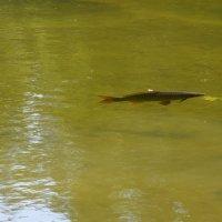 И рыба уже подходит. :: Schbrukunow Gennadi