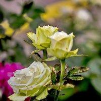 Жёлтая роза :: Анатолий Иргл