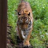 тигр на тропе :: Андрей Немерцалов