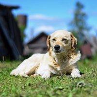 Безмятежности деревенских собак можно только позавидовать :: Алексей