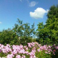 Флоксы у меня в саду :: Виктор Елисеев