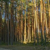 хвойный лес :: Елена